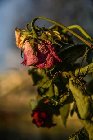 roses-1350840_960_720.jpg