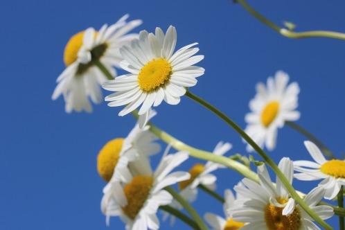 daisies-388946_960_720.jpg