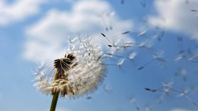 Dandelion-Seeding-1280x720