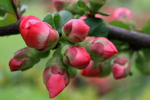 spring_buds_orchard_apple_nature_flowers_hd-wallpaper-564690