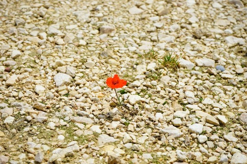 poppy-1365887_960_720.jpg
