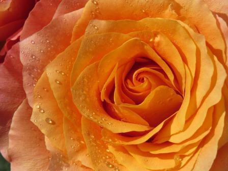 rose-1786358_960_720