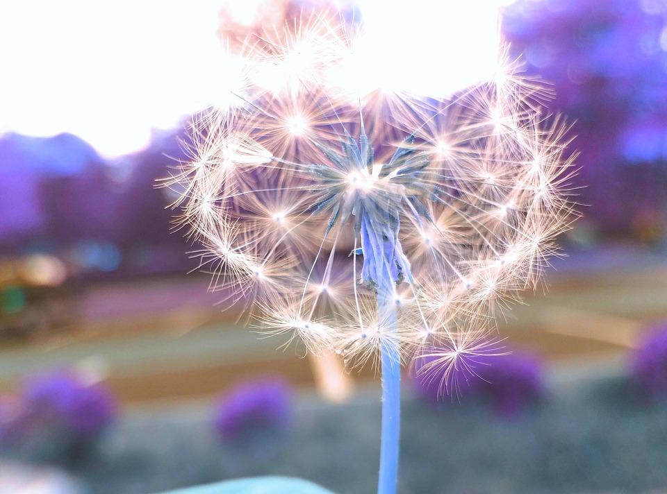 wishing-flower-2768809_960_720