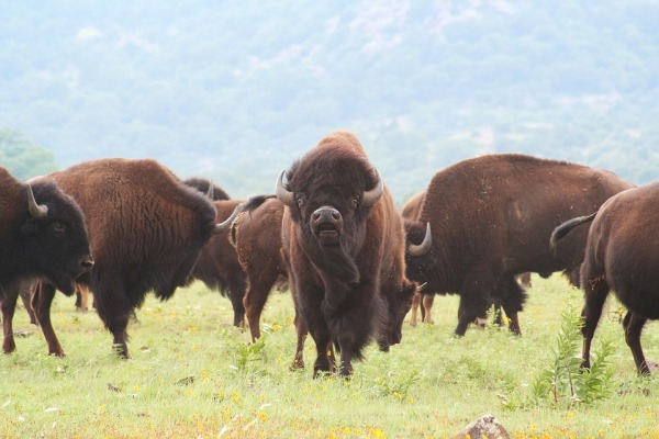 buffalo-1436182_960_720