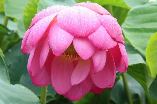 lotus-3031174_1280